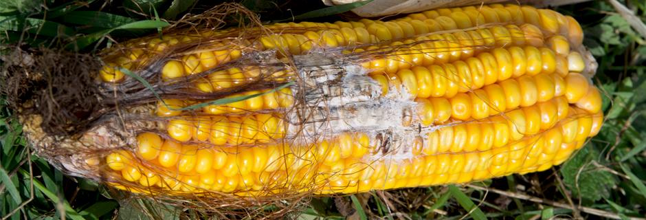 CornRot.jpg